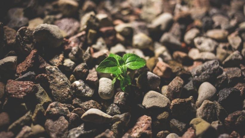 תמונה של צמח בין אבנים